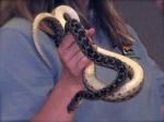 Native Neighbors, Gopher Snake